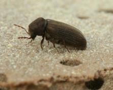 Anobium punctatum (Photo: DBP Entomology)
