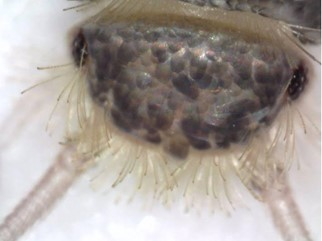 Head of a grey silverfish Ctenolepisma longicaudata (Photo: ICM)